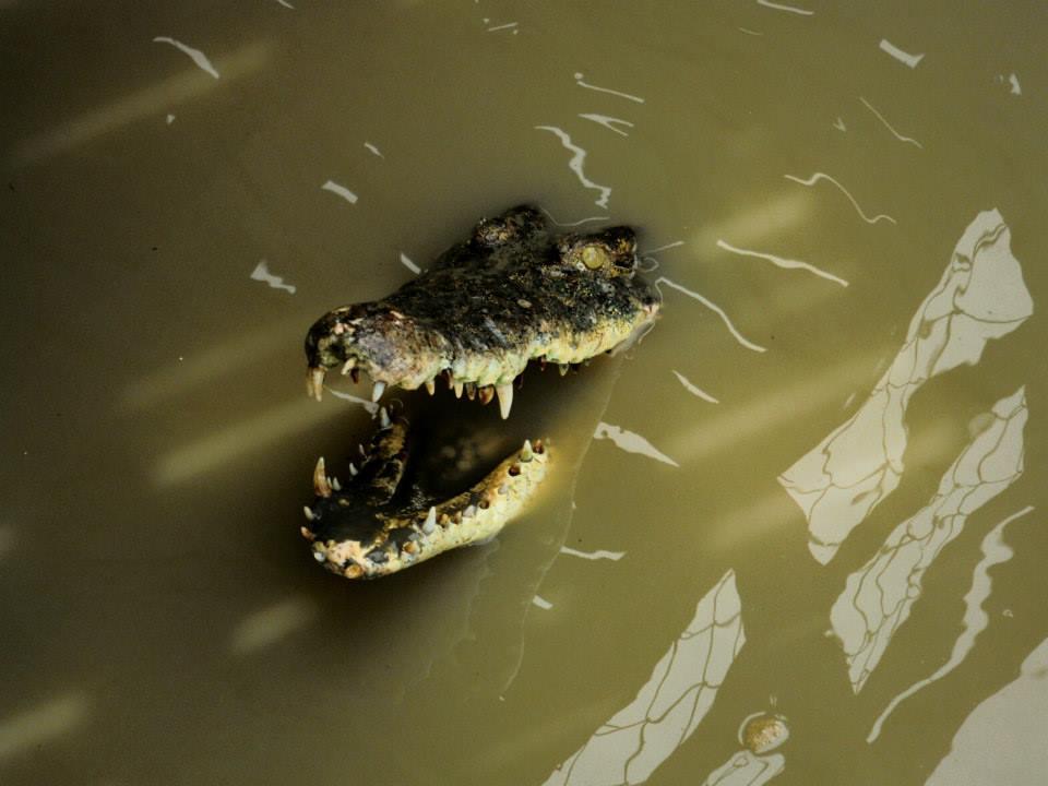Stary Krokodyl