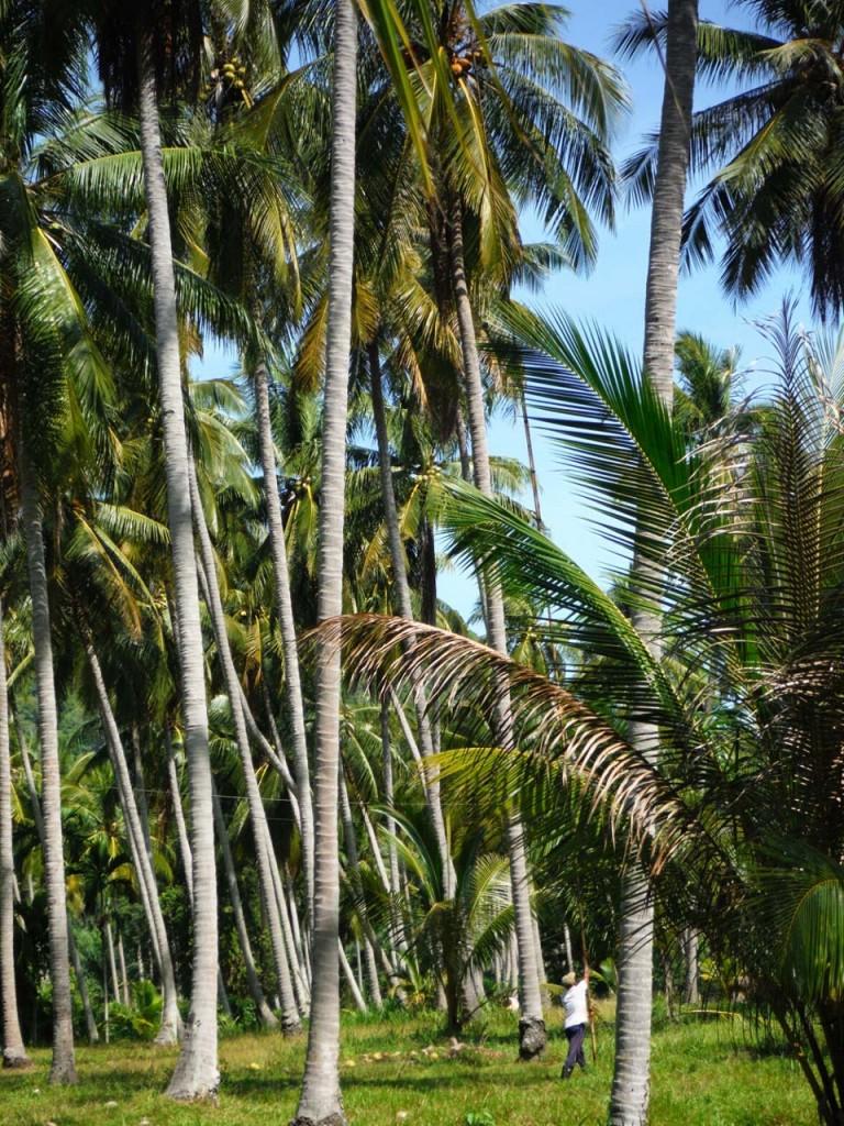 Zrzucanie kokosów
