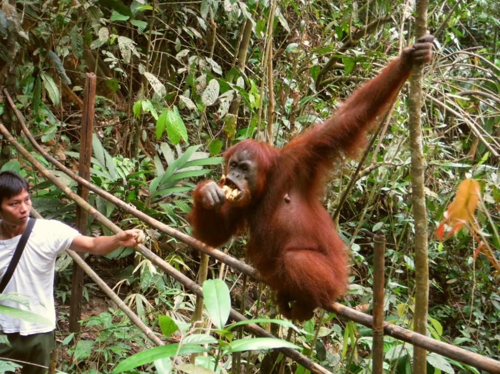 Karmienie orangutanów