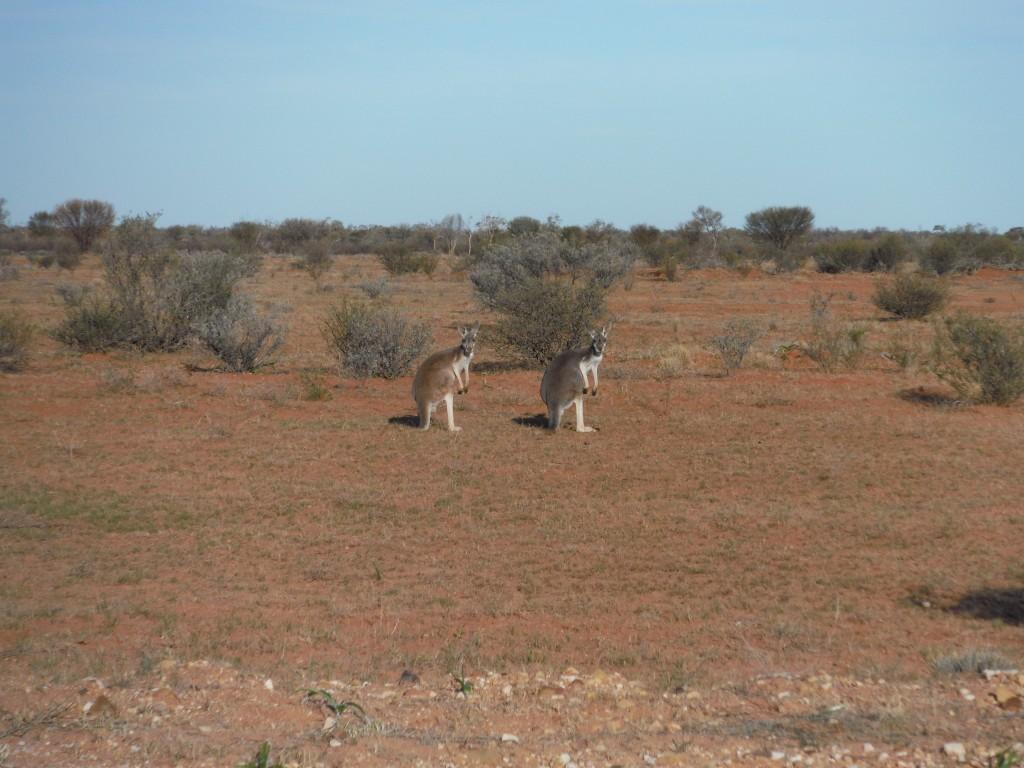 Kangury