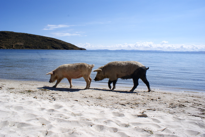 Świnie przy Titicace